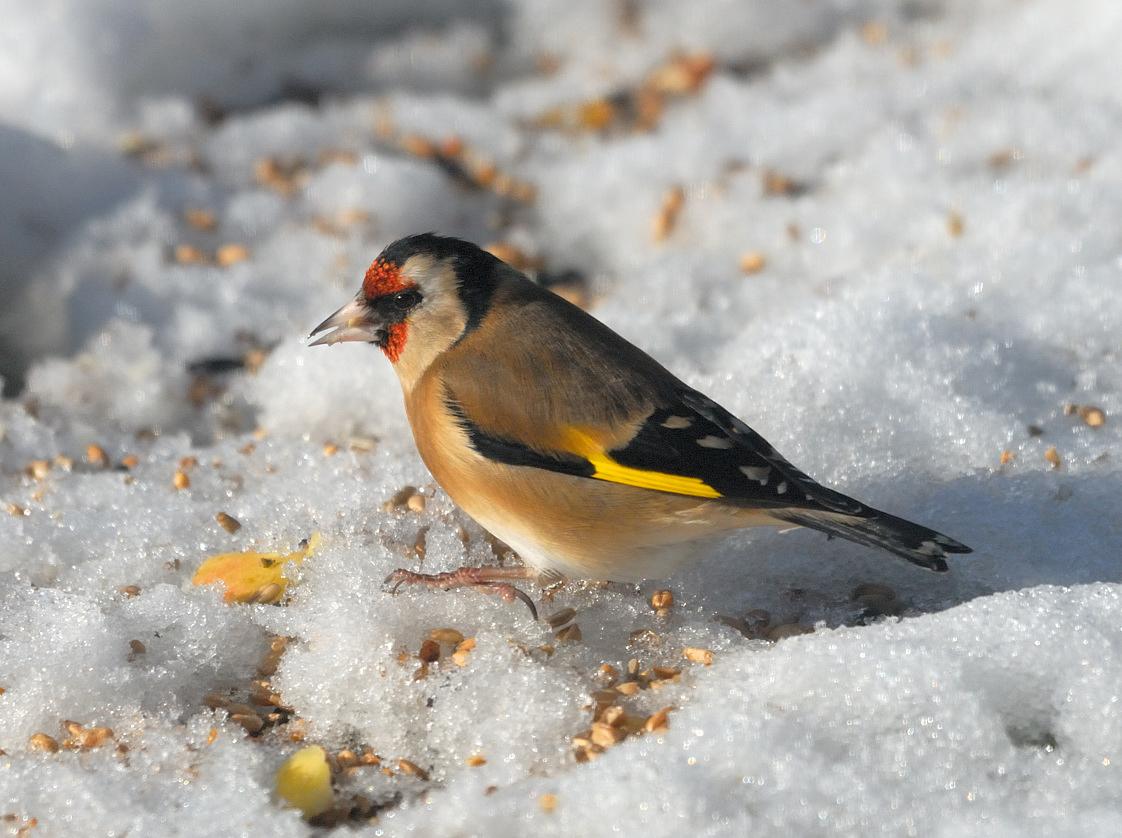 Chardonneret el gant carduelis carduelis for Oiseau commun