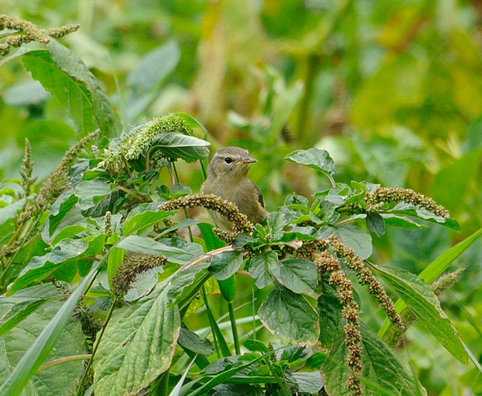 16 06 13 pouillot des canaries agulo 02