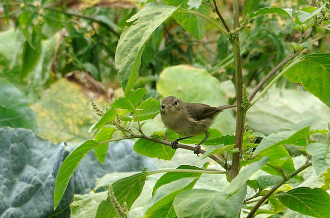 16 06 13 pouillot des canaries agulo 04