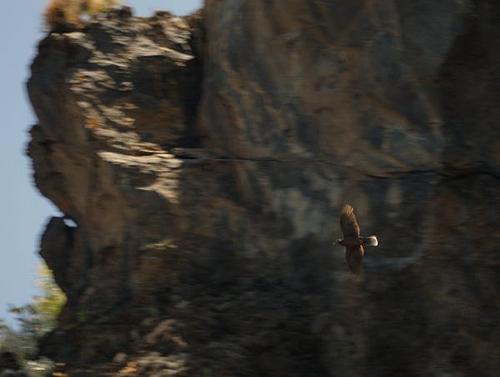 16 06 20 pigeon des lauriers la grimona 5