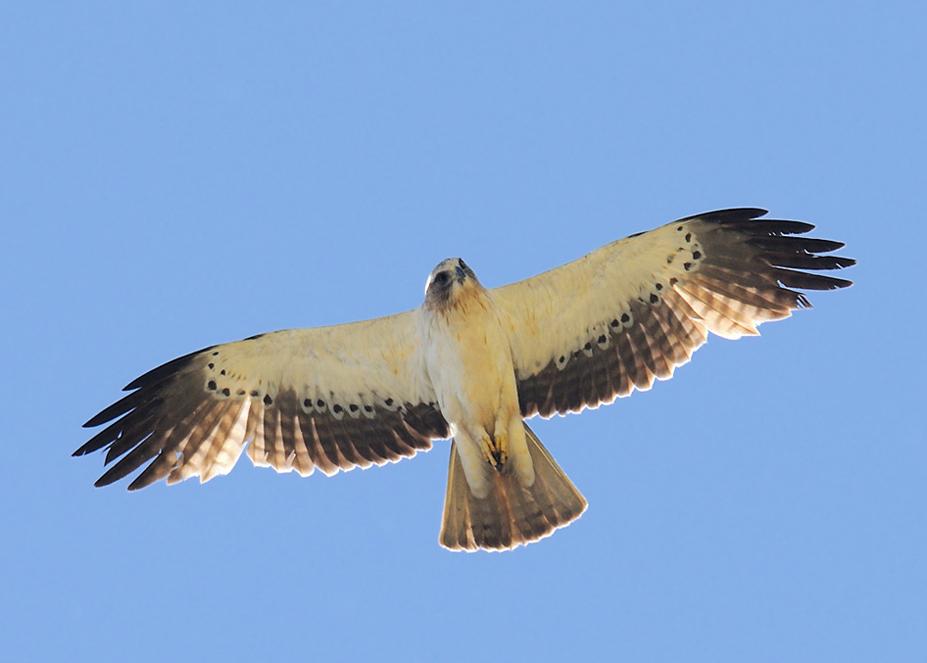aigle-botte-clair-dessous-gratte-poitrine-12-05-24-villalpando-03-2.jpg