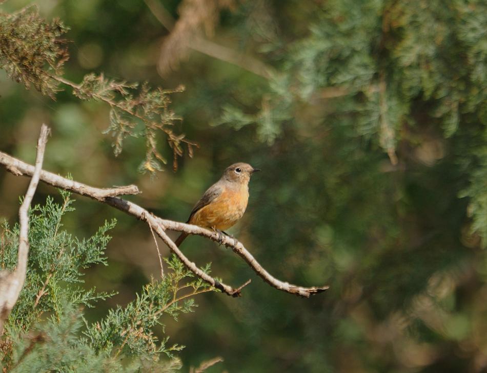 femelle-13-09-17-oulad-brahim-02.jpg