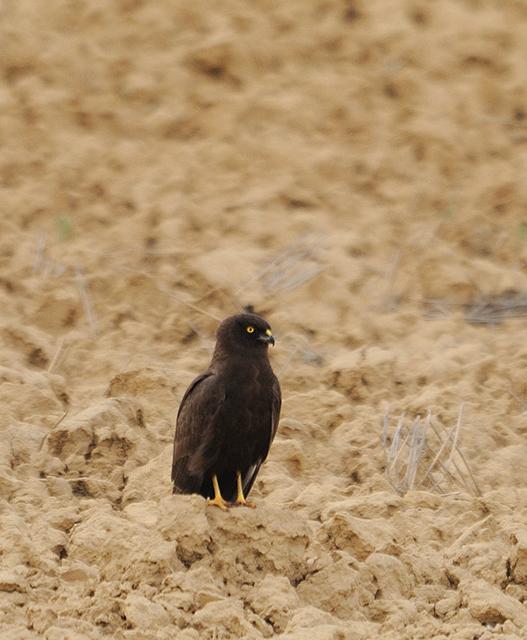 femelle-sombre-12-05-21-villafafila-02.jpg