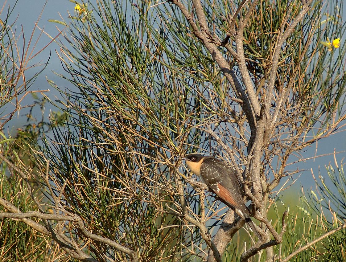 juvenile-07-07-13-plateau-de-leucate-3.jpg