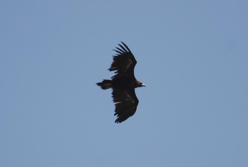 vautour-moine-matrice-1-1.jpg