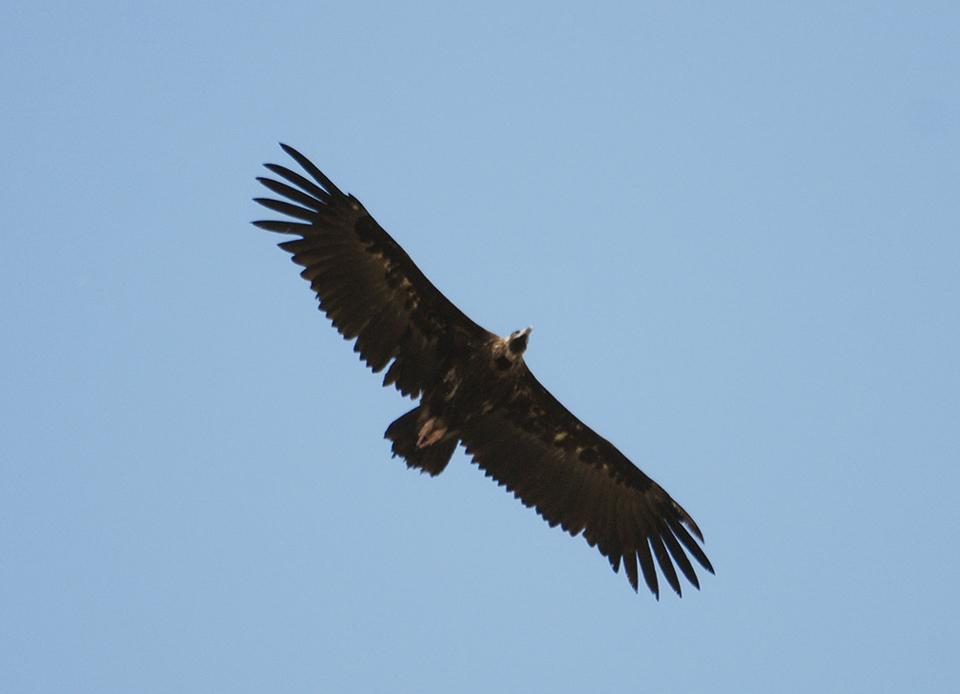 vautour-moine-matrice-2.jpg