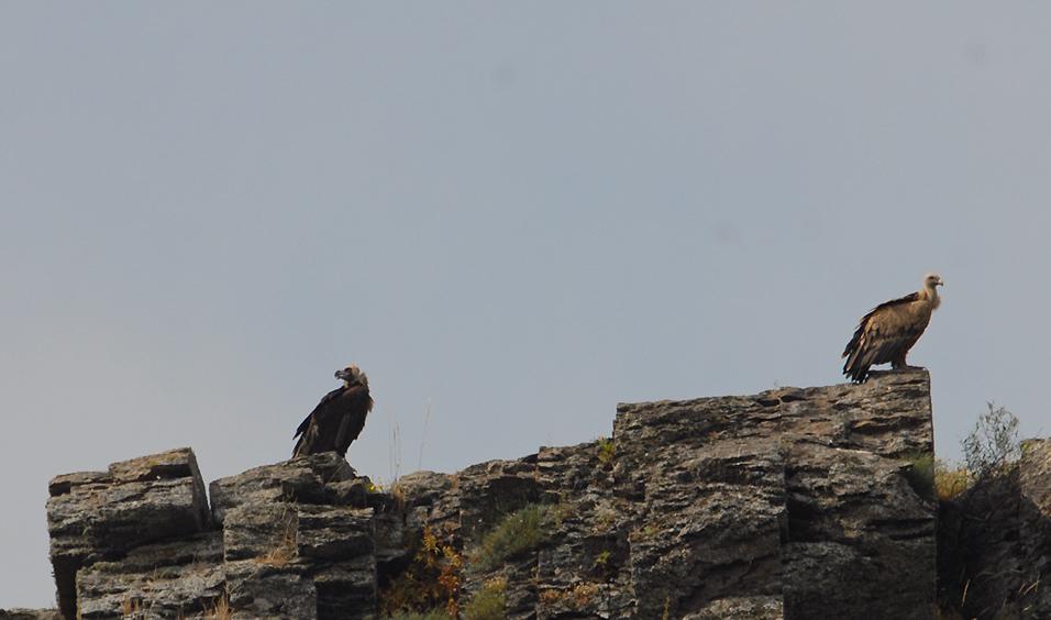 vautour-moine-matrice-4-1.jpg