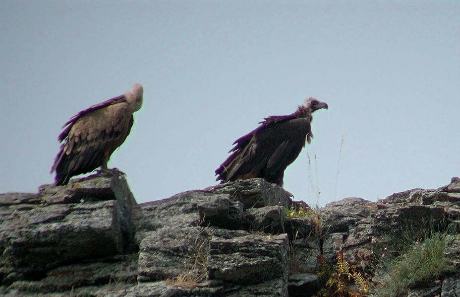 vautour-moine-matrice-5.jpg